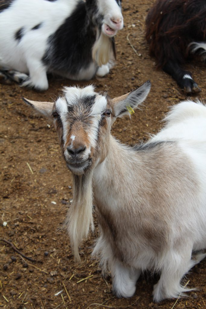 Farmbesuch bei Erik und Björn – I ain't afraid of no goats